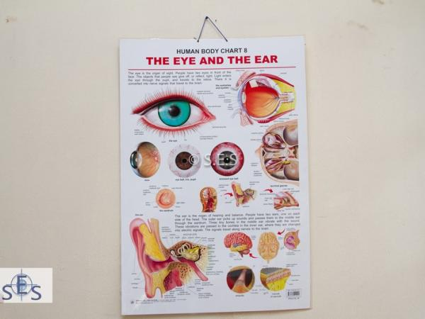 Human Body Chart - Ear and Eye